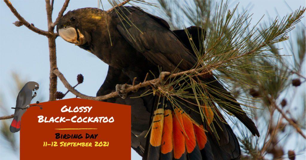 Glossy Black Cockatoo Birding Day